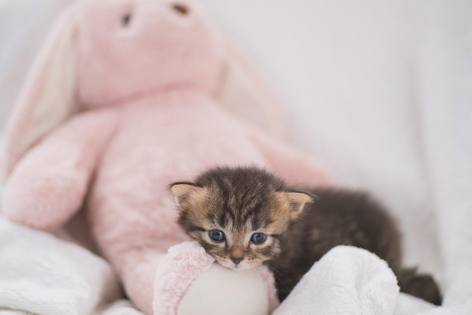 kitten cuddles into stuffed animal